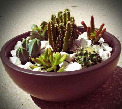 Varios Cactus en maceta