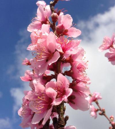 Nectarino en flor