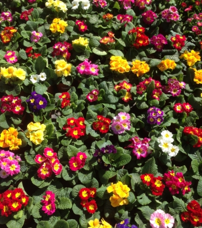 Flores Prímulas